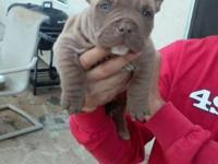 Nine pitbull bully pups for sale- 6 male and 3 female.
