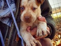 I have six 3/4 pitbull puppies offered. 3 males and