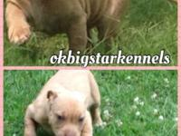 ADBA signed up 7 week old American Pitbull Terrier