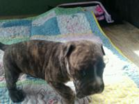 She is brindle ready to go and very socialized and