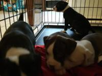 4 female puppies left pure breed red and blue nose