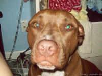 He is a choc. pitbull....he is neutered, and has all