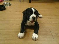 Need to rehome my male pit/mastiff-Banddogg mix puppy,