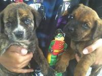 2 f 3 m ... all brindle very sweet playful pups .