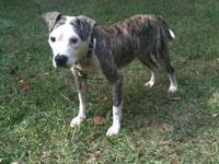 2 year old pitbull needs a non farm home. He is great