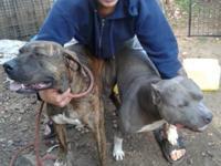 blue bully pitbull son a champion death row razors edge