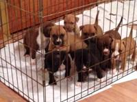 5 Full blooded Pitbull new puppies. 3 guys, 2 ladies.