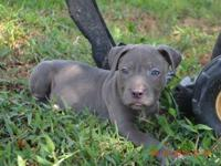 I have four pitbull puppies ready to go now to a new