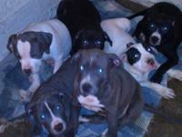 I have 5 Pitbull new puppies birthed on January 24,