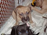 We have 3 puppies still available. They are 1 fawn