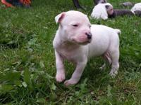 Our White Pitbull Puppies are descendants of Champion,