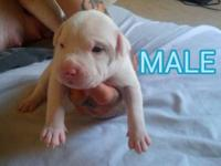 Rednose pitbull puppies born on June 10, 2013. Will be