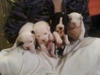 I have 8 pitbull puppies 4 males and 4 females their is