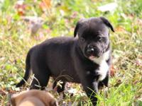 Remy x sosa puppies are here puppies will be very short