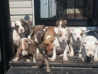 I have 9 pitbull puppies 6 r girls and three r boysi