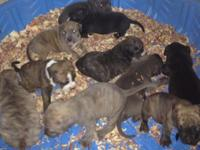 Sire tri-color blue Dam black and white 2 black and