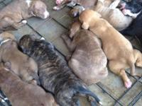 Full blood pit pups !!! Boudreaux/Watchdog bloodline