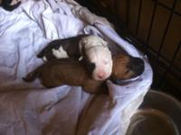 6 healthy, beautiful pitbull puppies. 5 males & & 1