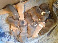 We have a beautiful litter of 13 puppies born January