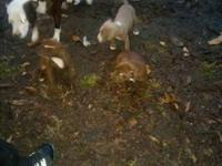 I have 3 pitbull young puppies (2f)(1m) they are