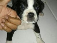 3 Female Pittbull puppies for sale pure breed very good