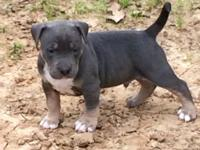 Blue and blue fawn puppies This ad was posted with the
