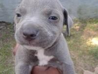6 weeks old beautiful pit pups they are not registered