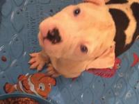 I have 5 beautiful black white and blue pit bull pups