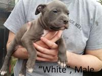 We have 8 pitbull puppies for sale, 3 fawns (2 females