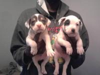 I have four Puppies Left Top quaility cage trained shot