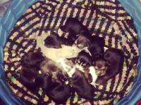 We have 7 adorable pitbull puppies for sale. We have 2