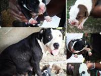 Pitbull puppies born on 8/26. One lady-$275. 4
