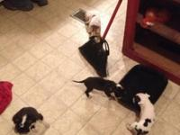 I have six pitbull puppies for sale. I have a white and