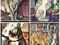 Razors Edge & Gator pitbull puppies for sale. 5 females