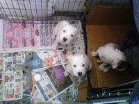 PitBull Puppies For Sale Born on June 20, 2015 Three