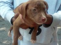 pit bull puppies for sale C.K.C registration with