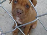 Pitbull puppies I have 2 pitbull puppies 8 weeks asking