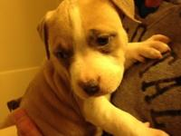 6 week old pitbull young puppies ready for their
