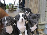 I have 7 Pitbull puppies that need a good home. My