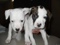 We have6 beautiful pitbull puppies that need good
