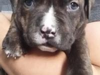 two males for females 9 weeks razor edge pitbulls first