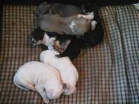 HUGE. I have 6 Razors Edge and Gotti puppies for sale.