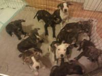 I have 10 beautiful pitbull puppies, that need good