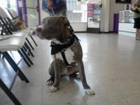 Gorgeous blue brindle male Pitbull. He's 7mth old and