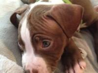 8 week old male Pitbull red nose. He is red with a