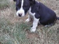 I have a pure bred pit bull puppy he is 9 weeks old has