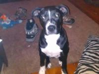 almost 6 months old female pitbull, spayed, utd on
