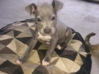 Beautiful blue pit bull puppy, she has had her first