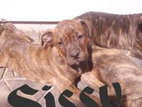 I have 1 female brindle puppy, born March 3rd, dewormed