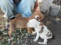 Pitbull puppies born on July 17, 2012. Only 2males and